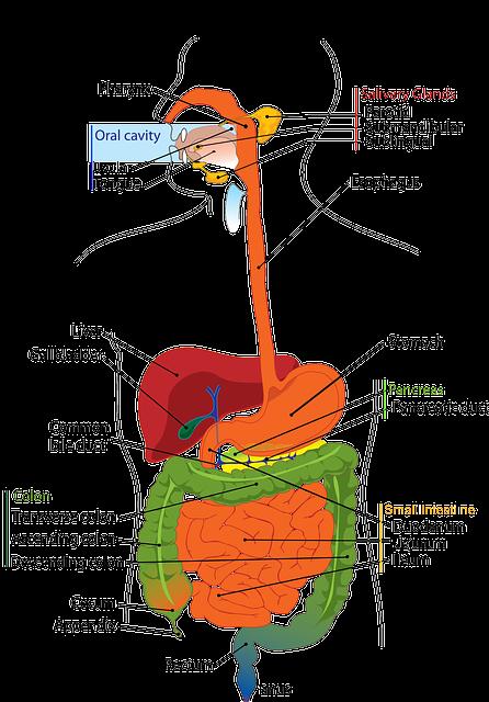 Pankreas – Die Bauchspeicheldrüse